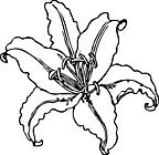Ausmalbild Malvorlage Tigerblume Pfauenblume
