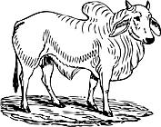 Ausmalbild Malvorlage Stier