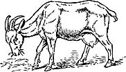 Ausmalbild Malvorlage Ziege