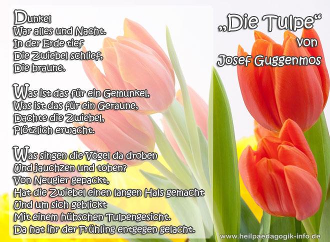 Gedichte von josef guggenmos die tulpe